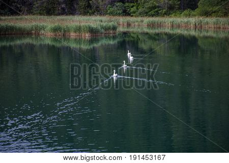 Three Beautiful Swans in Green Lake Swimming Together