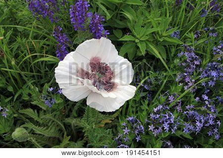 Single white poppy on the flower bed
