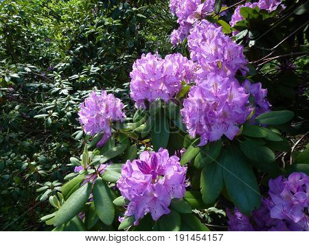 The flowers bunches of purple blooming rhododendron