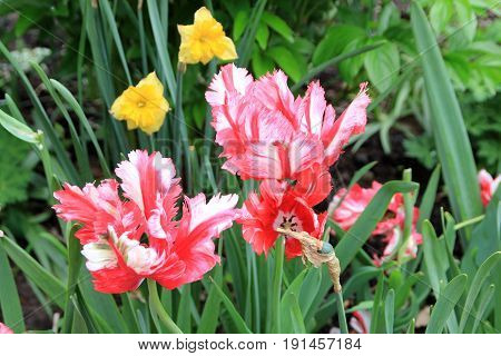 Two colorful tulips on the flower bed