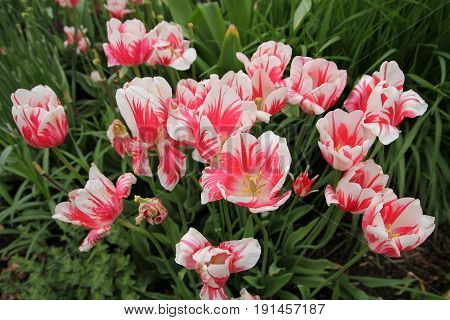 Many pink tulips on the flower bed