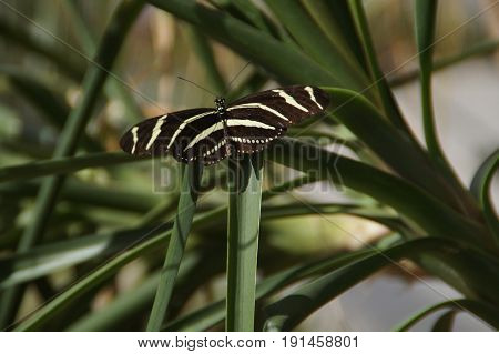 Zebra Longwing (Heliconius Charithonia) on a plant