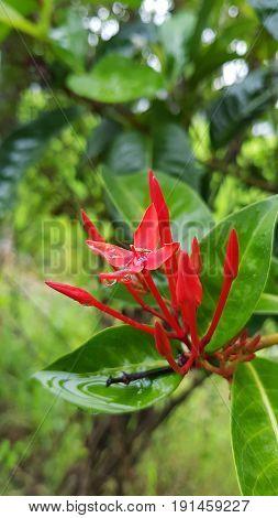 Red Rubiaceae flowers Ixora flower Red flower spike in a green garden background.