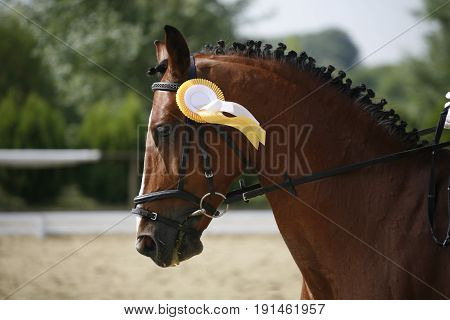 Portrait of beautiful dressage horse in motion on horse racing track. Dressage horse head closeup with winning golden trophy ribbons