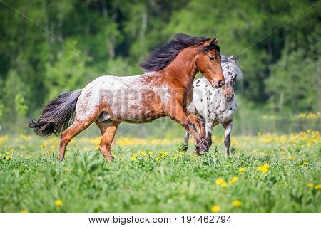 Two appaloosa ponies runs on the green grass in summer