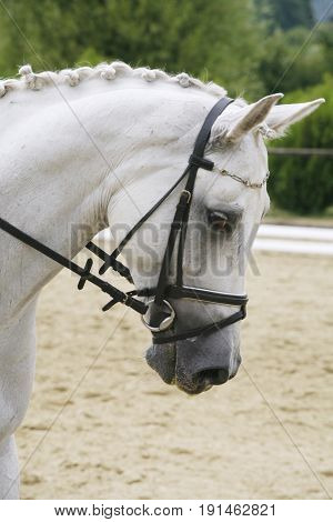 Purebred lipizzaner dressage horse with beautiful trappings under saddle during training