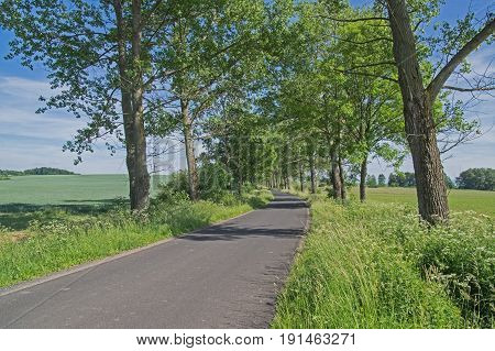 Photo shows a rural, asphalt, narrow road. It leads through fields sown with young green cereals. On both sides of the road grow high poplars. It is sunny day.
