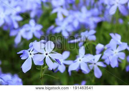 Night violet fragrant. Viola odorata. Flowers macro. Small blue flowers on blurred background. Landscaping in the garden. Planting of flowers. The care of flowers