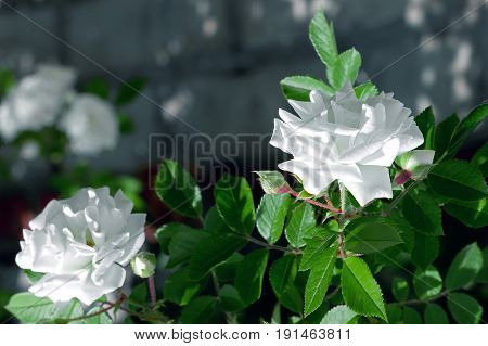 White rose flower with green leaf on the blur background. Rose photo. Beautiful summer flowers.