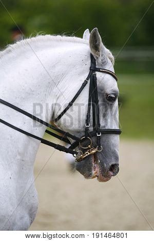 Portrait of beautiful dressage horse in motion on horse racing track. Head shot of a lipizzaner sport horse