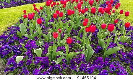 Green lawn with beautiful tulips and violets flowers natural background