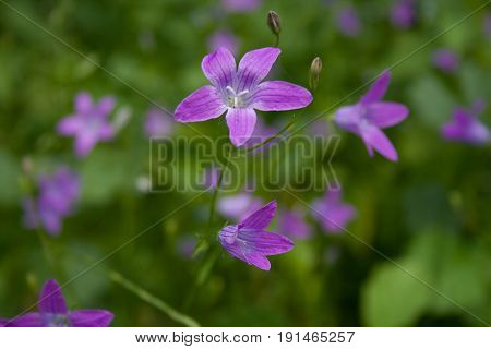 Beautiful bells flowers with green leaves and grass as a background. Blooming bells flowers in the summer.
