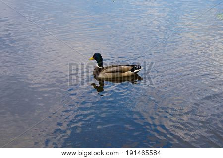 Drake with reflection floating in the lake with blue water in summer day