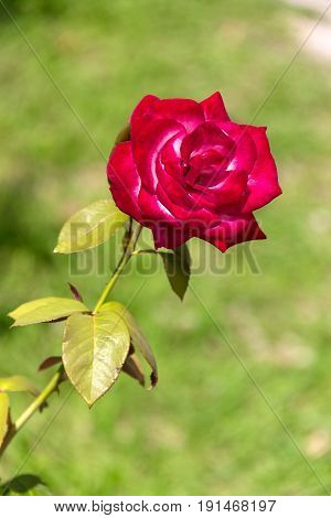 The photo shows a chic single rose. Juicy green background.