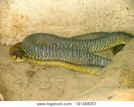 THE EGYPTIAN COBRA IS FOUND IN AFRICA 28inh
