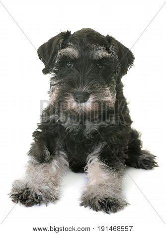 puppy miniature schnauzer in front of white background