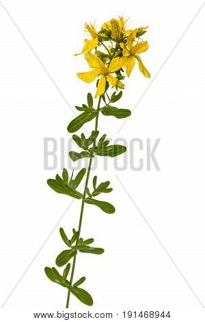 Flowers  Of St. John's Wort (hypericum Perforatum), Isolated On White Background