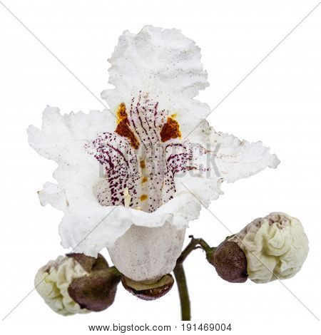 Flower Of Tree Catalpa, Lat. Catalpa Speciosa, Isolated On White Background