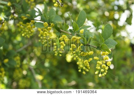One branch of a blooming yellow barberry
