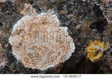 Lecanora campestris lichen on rock. White thallus of circular colony of organisms in the family Lecanoraceae growing on calcareous rock probable identification