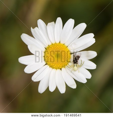 Misumena vatia crab spider with fly on daisy. Camouflaged arachnid holding prey on ox-eye daisy (Leucanthemum vulgare) in the family Asteraceae