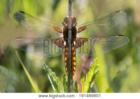 Broad-bodied chaser (Libellula depressa) underside. Dragonfly in the family Libellulidae at rest from below backlit by sunlight