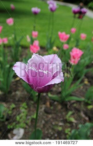 Single pink tulips on the flower bed