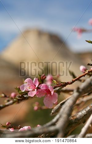 Flowering Dogwood among the rock layers in Zion National Park