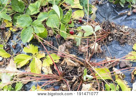 Weeds parasites pests dandelion in strawberry plants before herbicide weedkiller weed whacker
