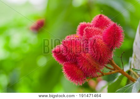 Achiote plant or Annatto plant seeds from these spiny red pods are used for flavoring and natural color, also used for face painting, from the amazon rainforest in Cuyabeno National Park, Ecuador.