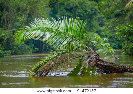 Calm and magical dark Amazon waters, located in the amazon rainforest with a palm plant in the water, in Cuyabeno National Park, in Sucumbios province in Ecuador.