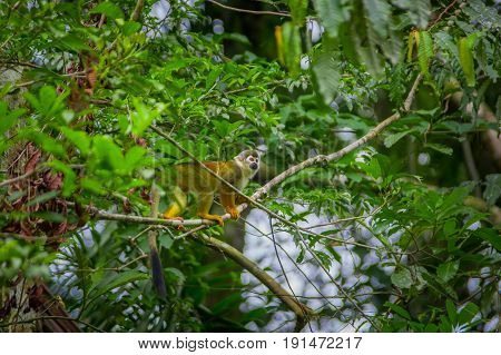 Common squirrel Monkey playing in the trees, inside of Cuyabeno National Park in Ecuador, South America.