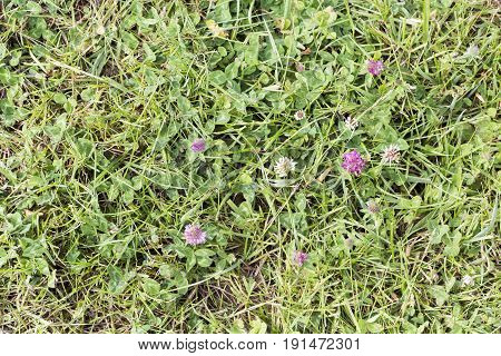 Weeds parasites pests dandelion in lawn grass before herbicide weedkiller weed whacker