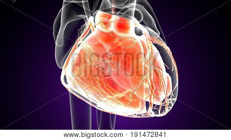 3d illustration of human body organ(heart anatomy)