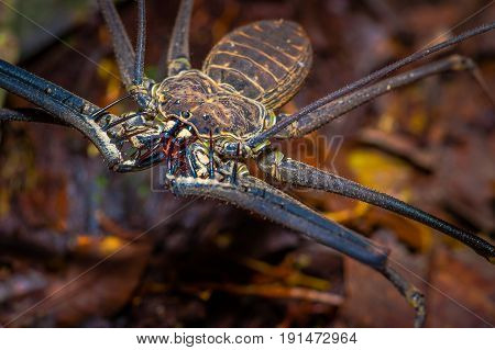 Close up of a whip Scorpion walking toward viewer through dry leafs, whip Scorpion amblypygi inside of the forest in Cuyabeno National Park, in Ecuador.