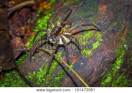 A large spider carrying below her a white bag of eggs, inside of the forest in Cuyabeno National Park, in Ecuador.