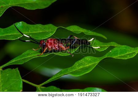 Small red insect sitting on a green leaf in the amazon rainforest in Cuyabeno National Park, in Ecuador.