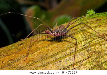 Whip Scorpion posing over a dry trunk, whip Scorpion amblypygi inside of the forest in Cuyabeno National Park, in Ecuador.