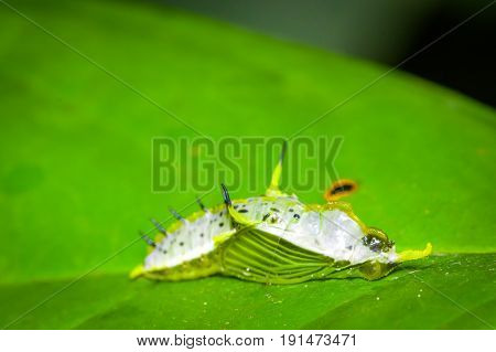Small dead insects on a green leaf in the amazon rainforest in Cuyabeno National Park, in Ecuador.
