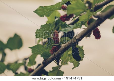 Fresh mulberry color black ripe and red unripe