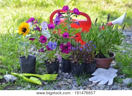 Garden still life with tools, watering can and summer flowers in planting pots. Vintage planting flowers concept