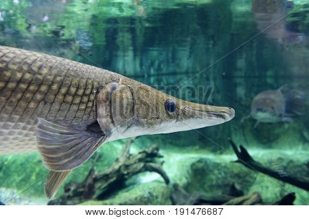 Close up head shot of an Alligator Gar swimming around