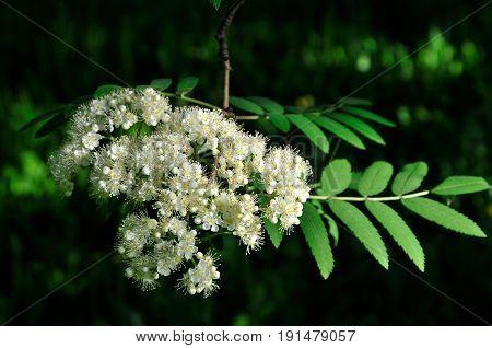 Rowan bloom in May. Flowering mountain ash.