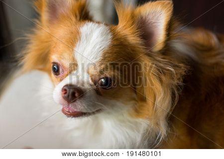 Chihuahua furry dog Chihuahua furry dog 0