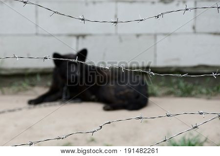 Black dog on a chain behind a barbed wire