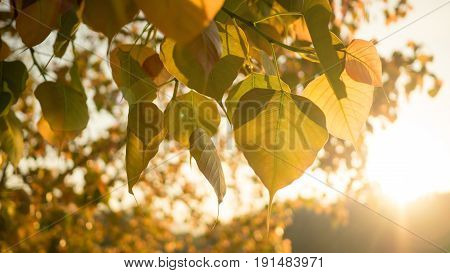 Golden leaves Pho or Bodhi tree with sunlight in sunshine morning in Autumn. Bodhi trees are planted close proximity to Buddhist monastery.