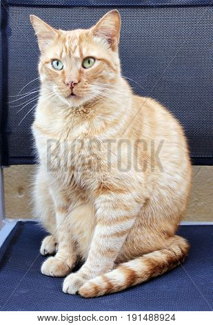 Portrait of beautiful sweet ginger shorthair cat with sad different colored eyes sitting on dark blue chair.