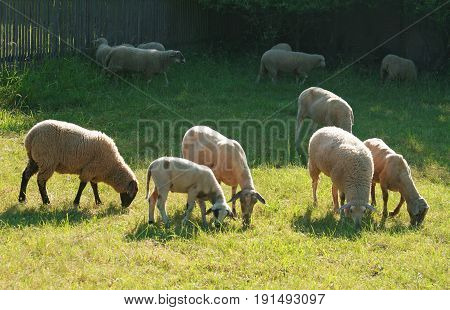 sheep and a lamb grazing on a pasture