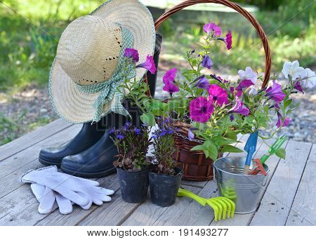 Garden still life with petunia flowers, boots, straw hat and working tools on planks. Vintage planting flowers concept. Beautiful summer background