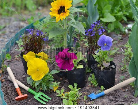 Beautiful summer background with flowers in planting pots and garden tools on flowerbed. Vintage planting flowers concept